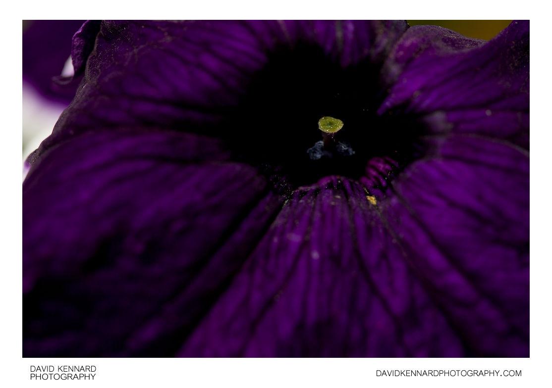 Petunia x Hybrida 'Frost' purple flower centre