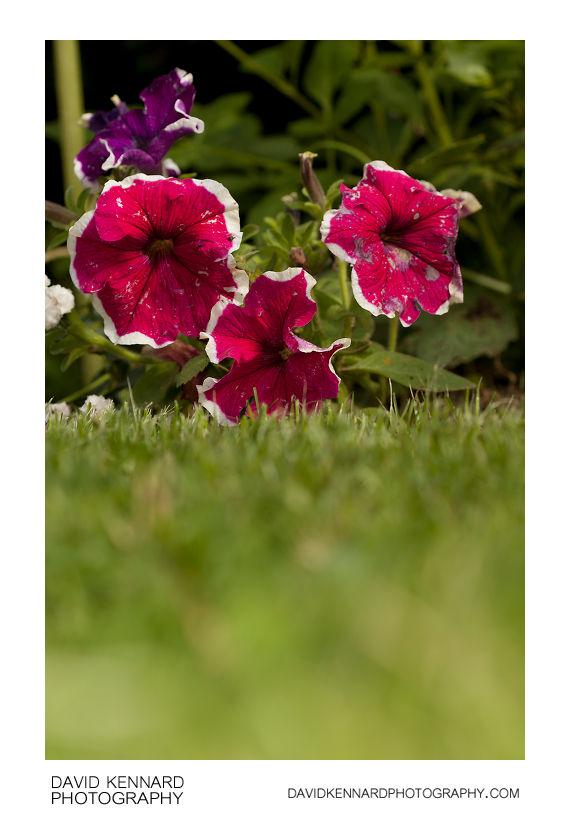 Petunia x Hybrida 'Frost' pink flowers