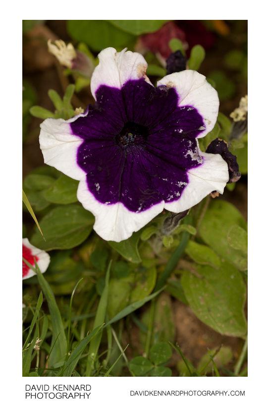Petunia x Hybrida 'Frost' purple flower
