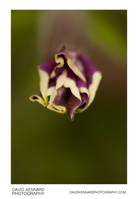 Petunia x Hybrida 'Frost' purple flower bud