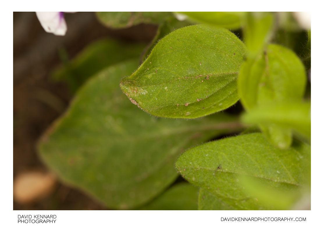 Petunia x Hybrida 'Frost' leaves