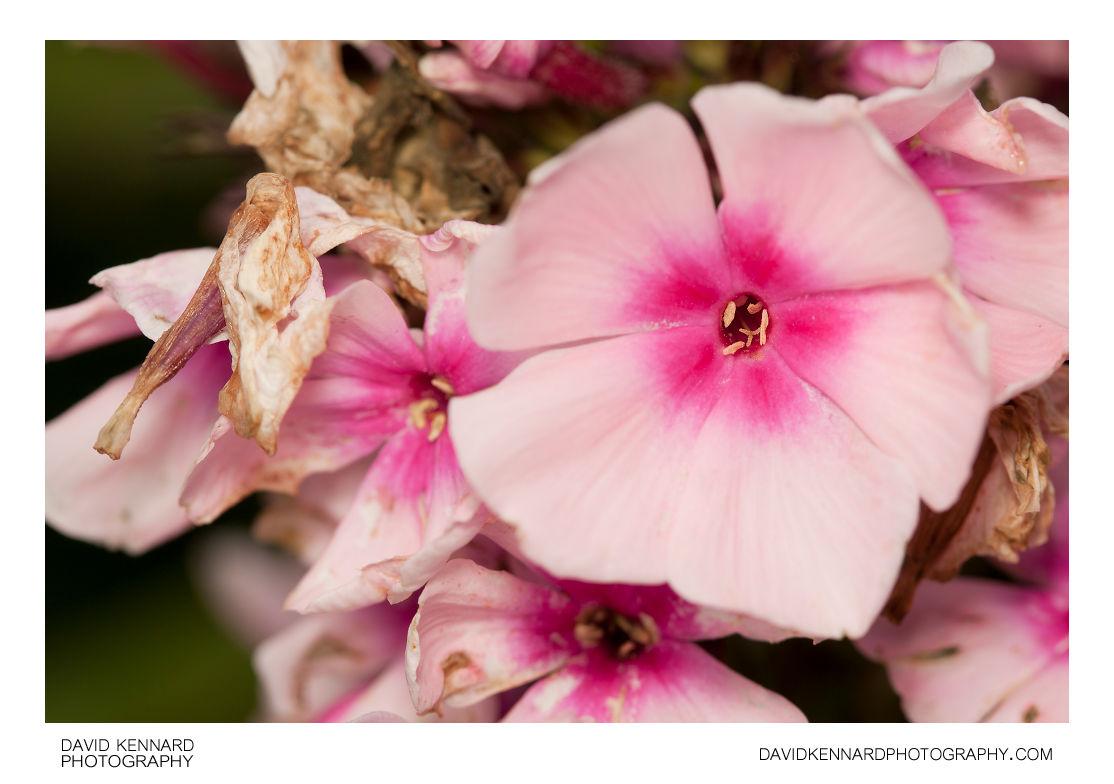 Phlox paniculata 'Bright Eyes' flowers