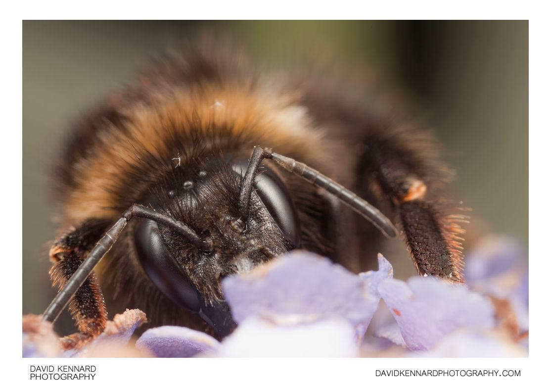 Buff-tailed Bumblebee (Bombus terrestris) on Buddleia
