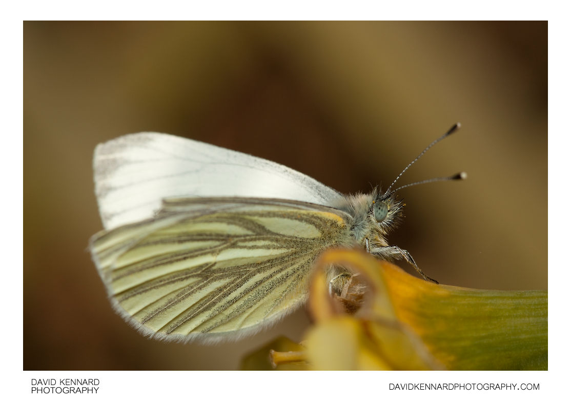 Male Green-veined White butterfly (Pieris napi)