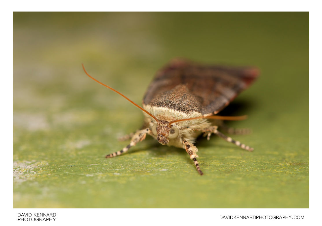 Lesser Broad-bordered Yellow Underwing moth (Noctua janthe)