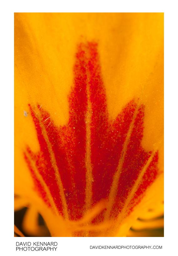 Nasturtium 'Tom Thumb' yellow flower macro