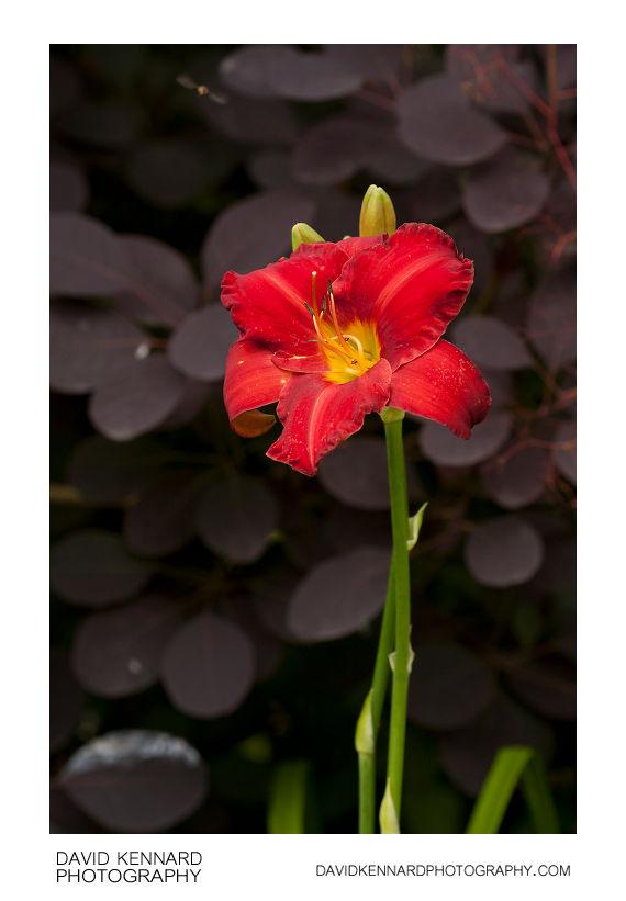 Red Hemerocallis flower