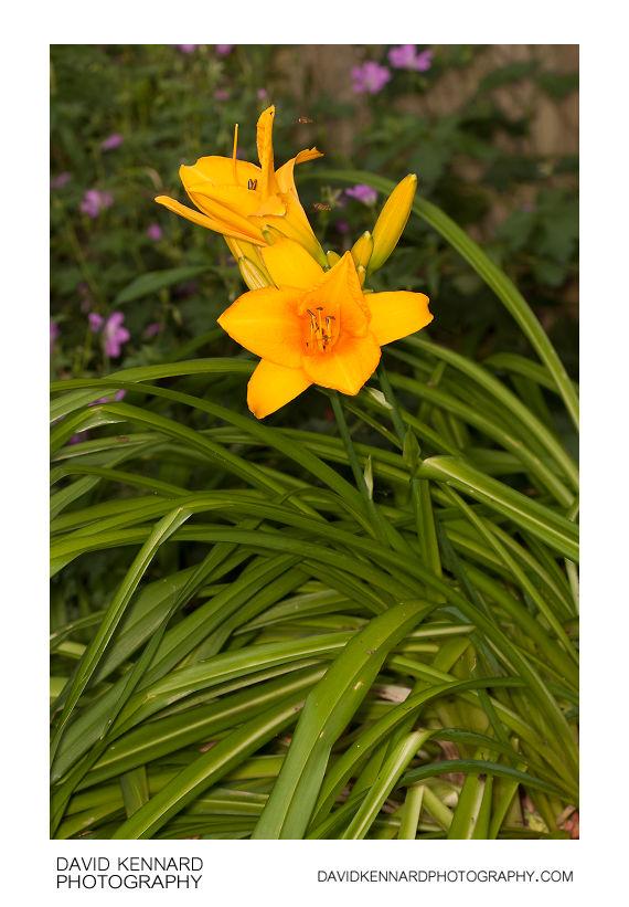 Hemerocallis plant with yellow flowers