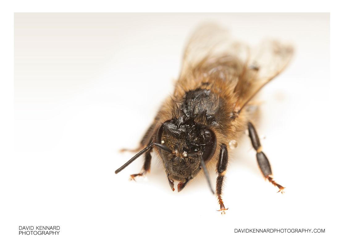 Wet European honey bee (Apis mellifera)