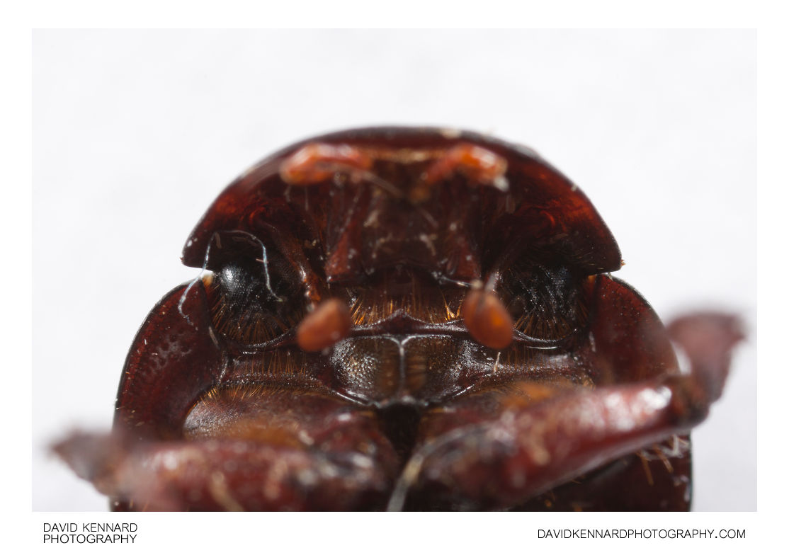 Aphodius rufipes - underside of head