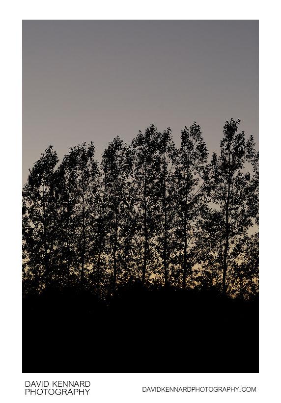 Tree silhouettes at twilight