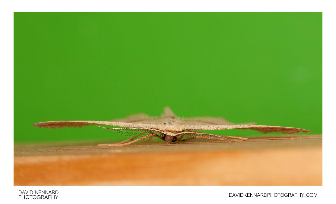 Blood-vein moth (Timandra comae)