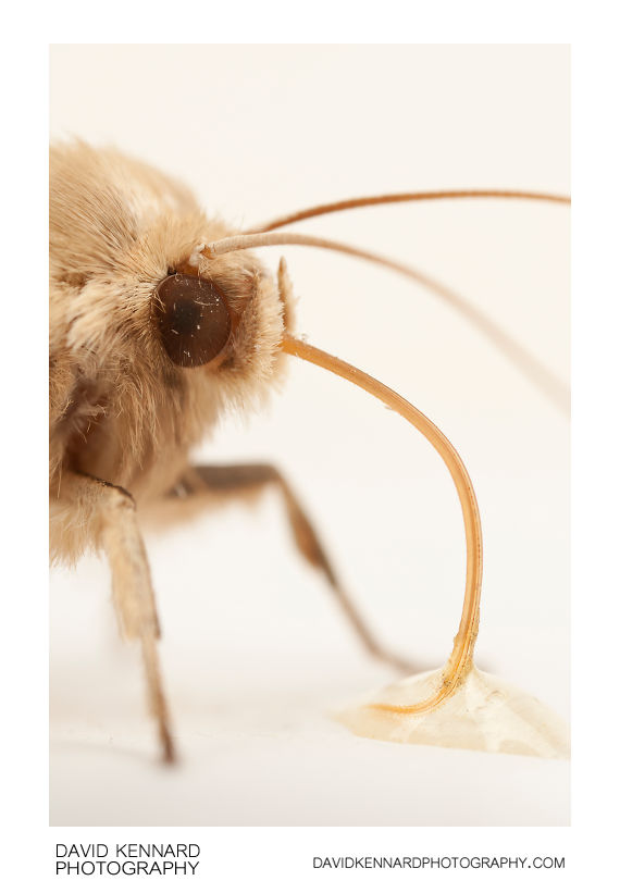 Common Wainscot moth drinking honey