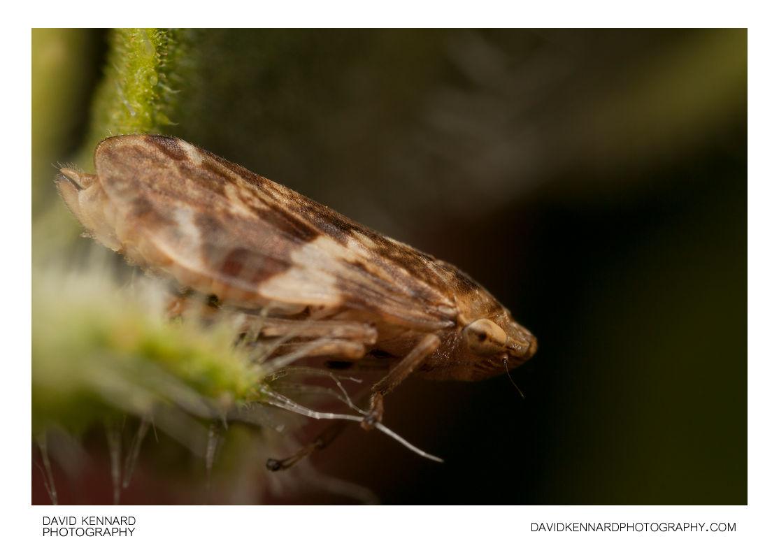 Common froghopper (Philaenus spumarius)