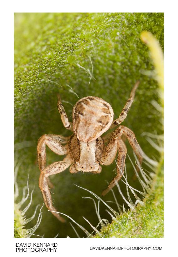 Xysticus cristatus crab spider