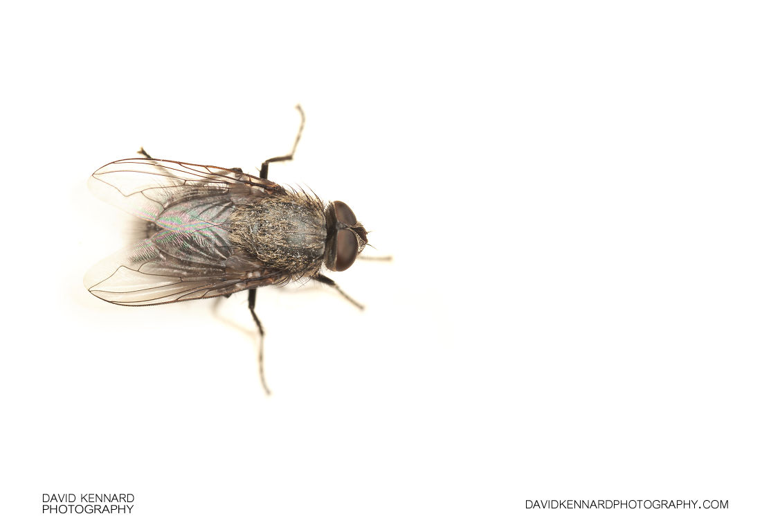 Cluster fly (Pollenia sp.)