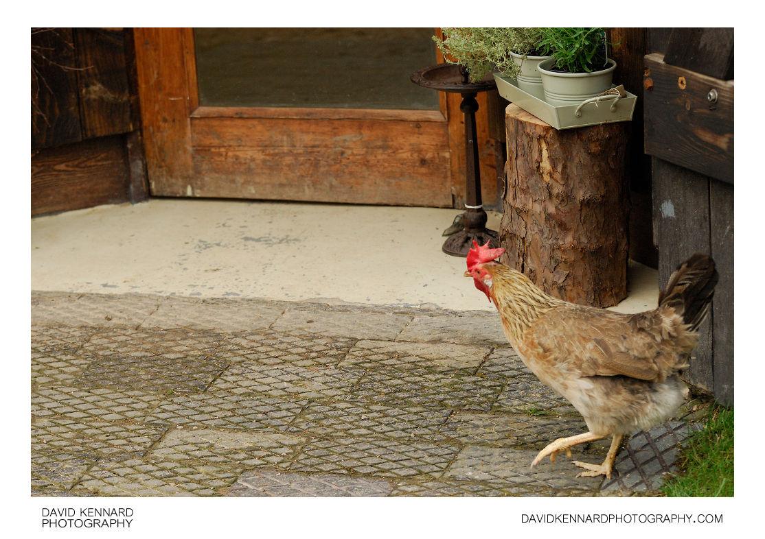 Chicken at Acton Scott Historic Working Farm