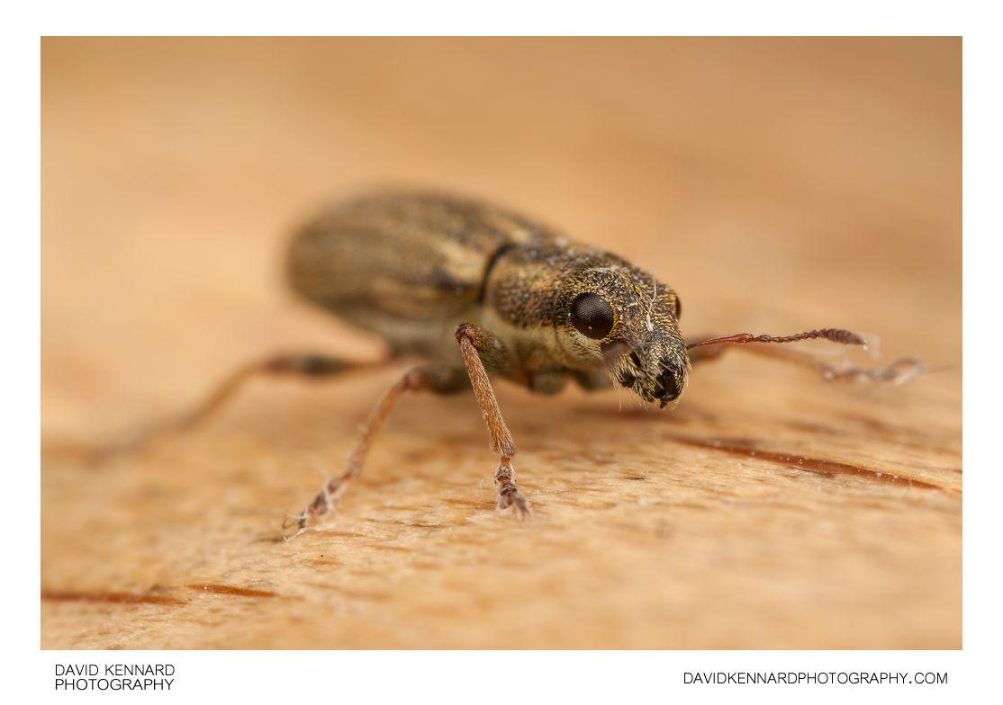 Sitona sp. Weevil