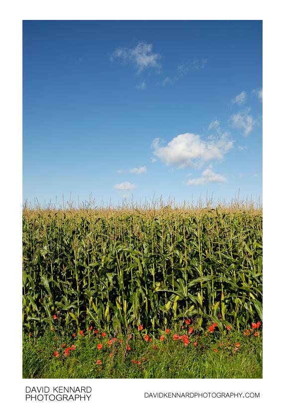 Maize field and blue sky
