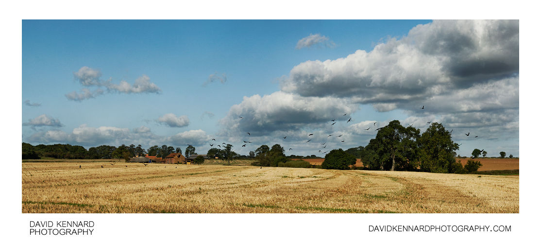Crows over harvested field, Scalford