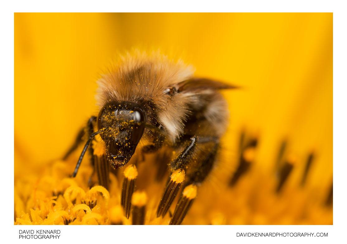 Common carder bumblebee (Bombus pascuorum)
