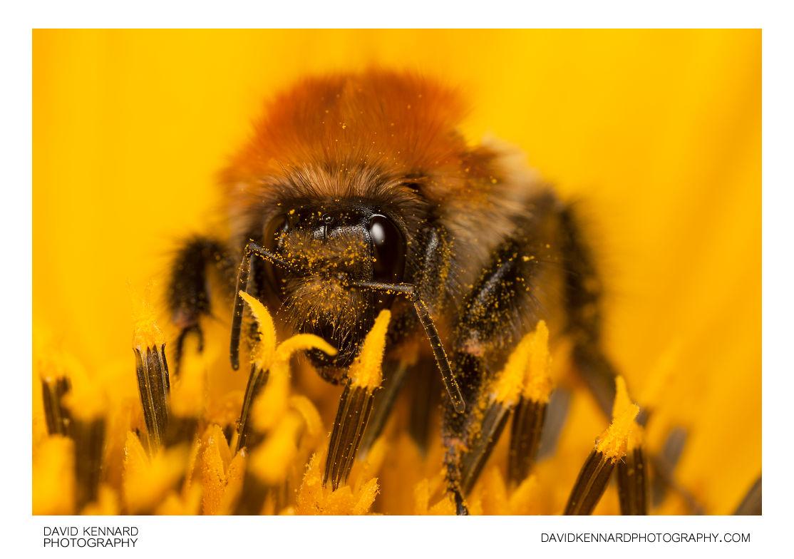 Common carder bumble bee (Bombus pascuorum)