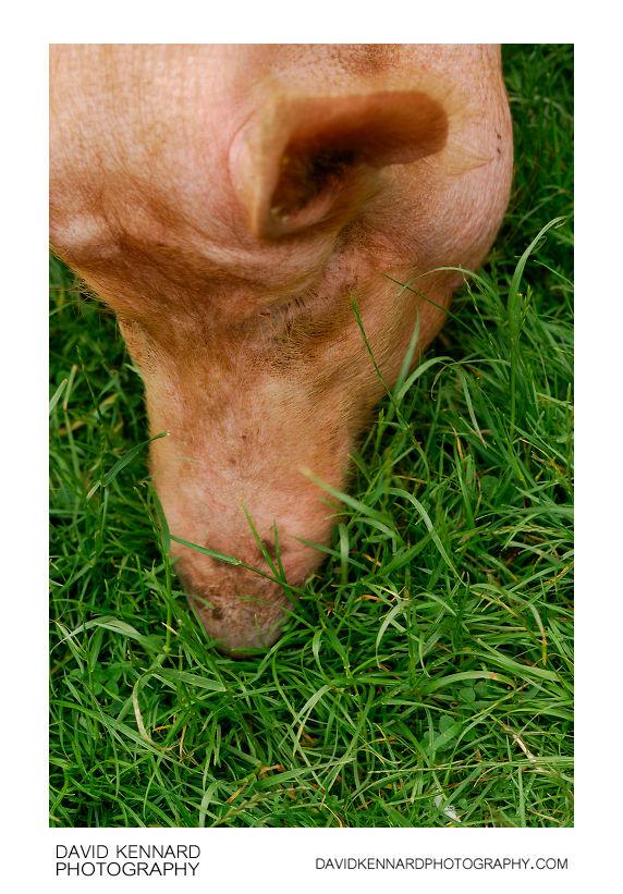 Pig at Acton Scott Victorian Farm