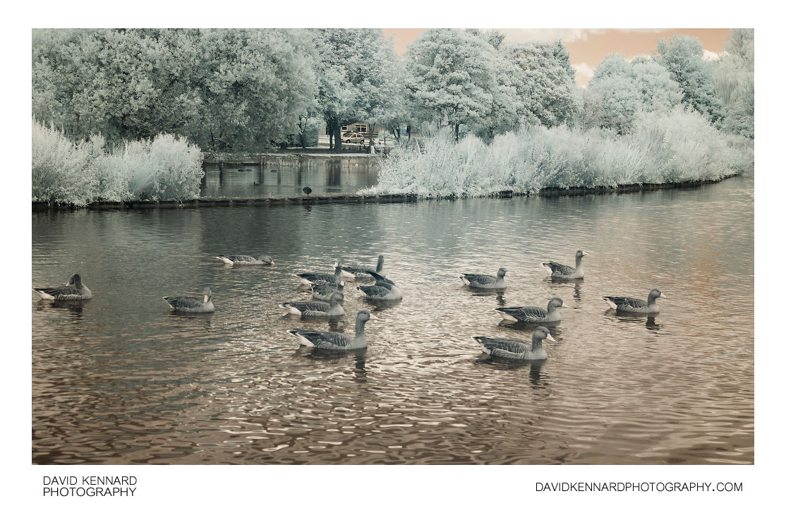 Greylag geese on Corby Boating Lake in Infrared