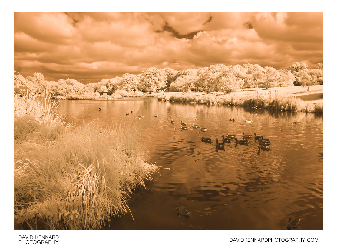 Greylag Geese at Corby Boating Lake in Infrared