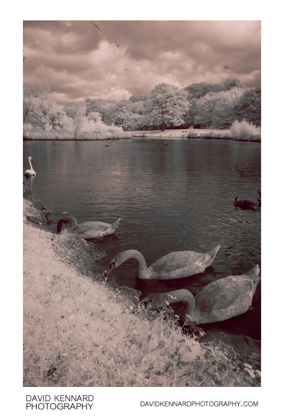 Juvenile Swans at Corby Boating Lake in IR