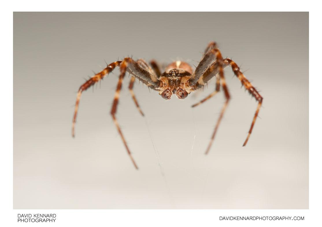 European garden spider (Araneus diadematus) male