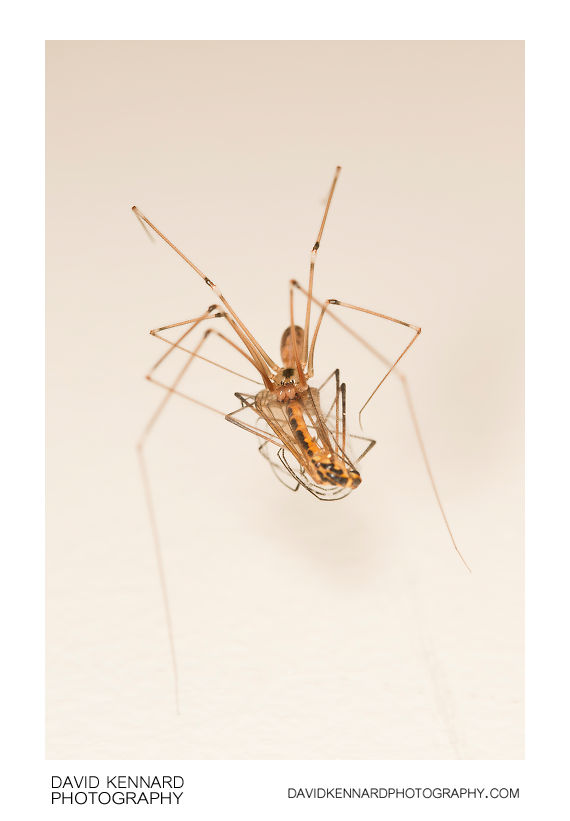 Pholcus phalangioides eating Nephrotoma appendiculata