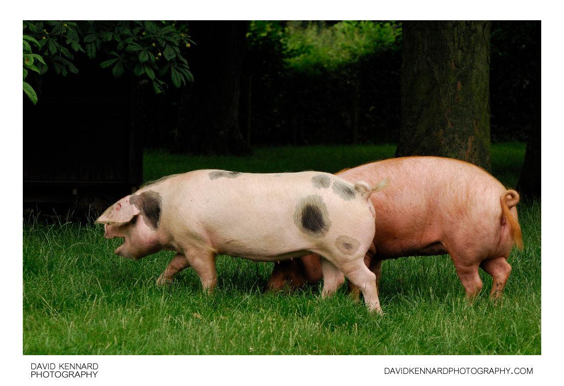 Pigs at Acton Scott Victorian farm
