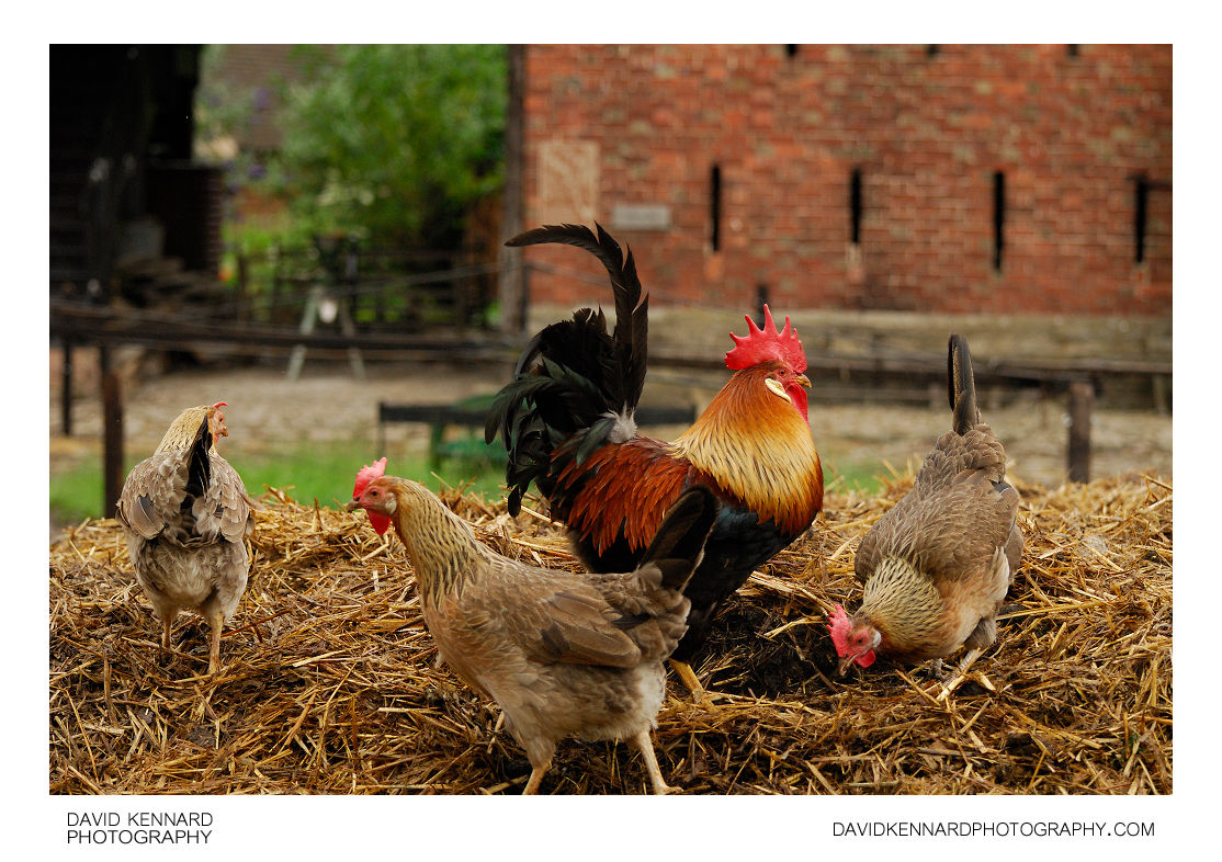 Roosters And Hens submited images | Pic2Fly