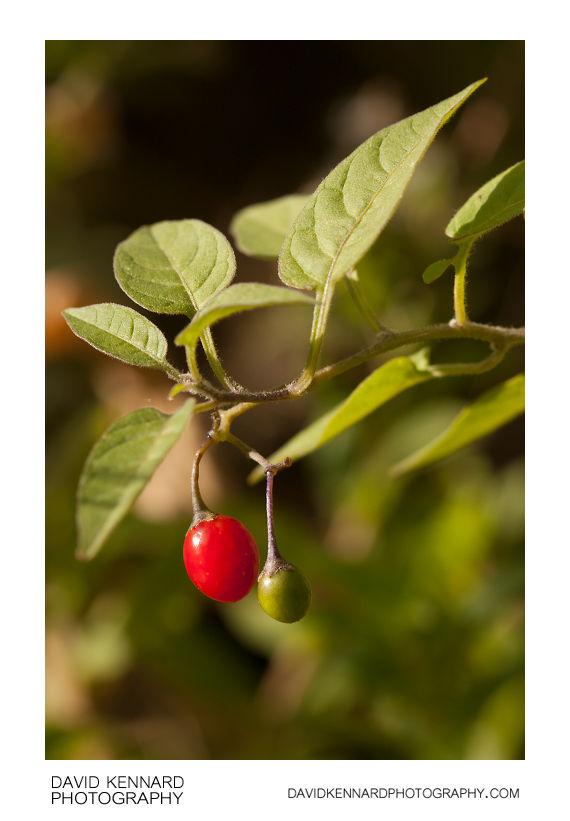 Woody nightshade (Solanum dulcamara) with berry