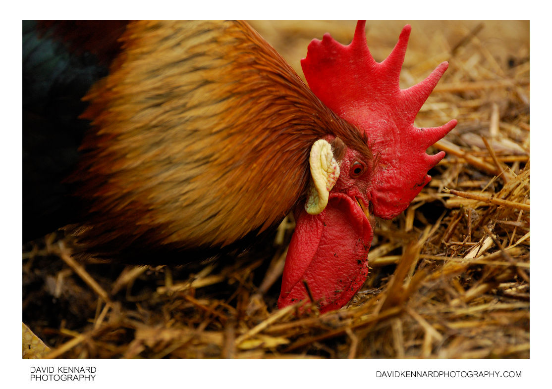 Rooster at Acton Scott Historic Working Farm