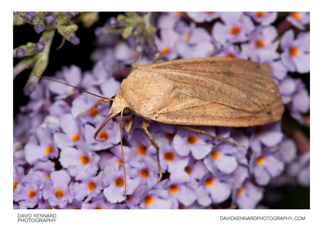 Large Yellow Underwing moth (Noctua pronuba)