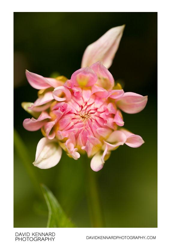 Pink Dahlia flower bud opening