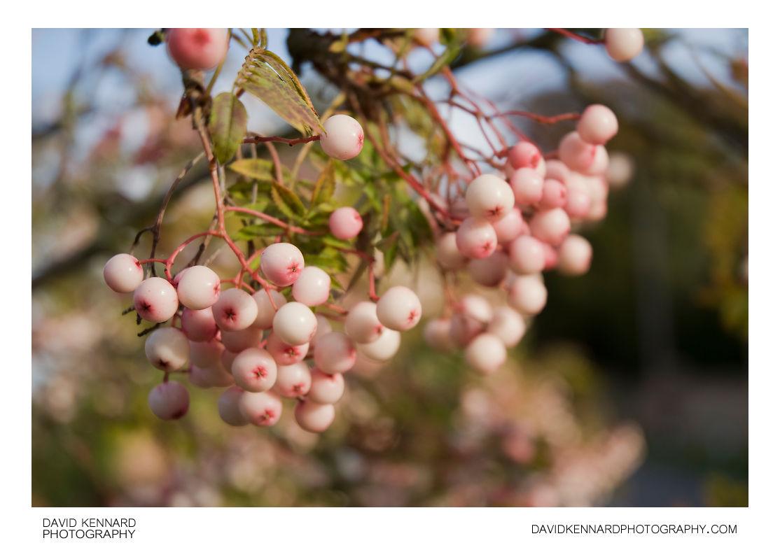 Pink-white berries