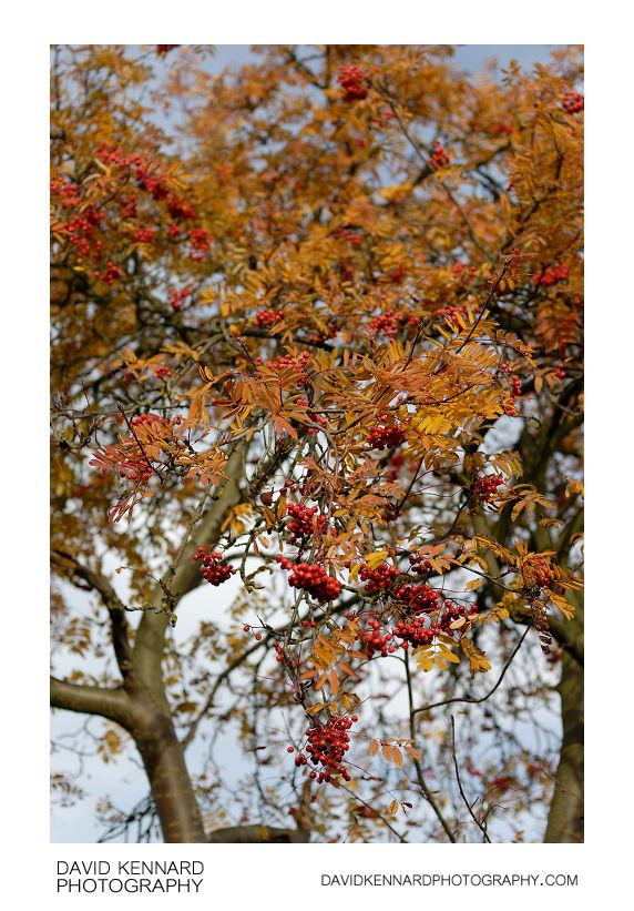 Rowan tree in autumn