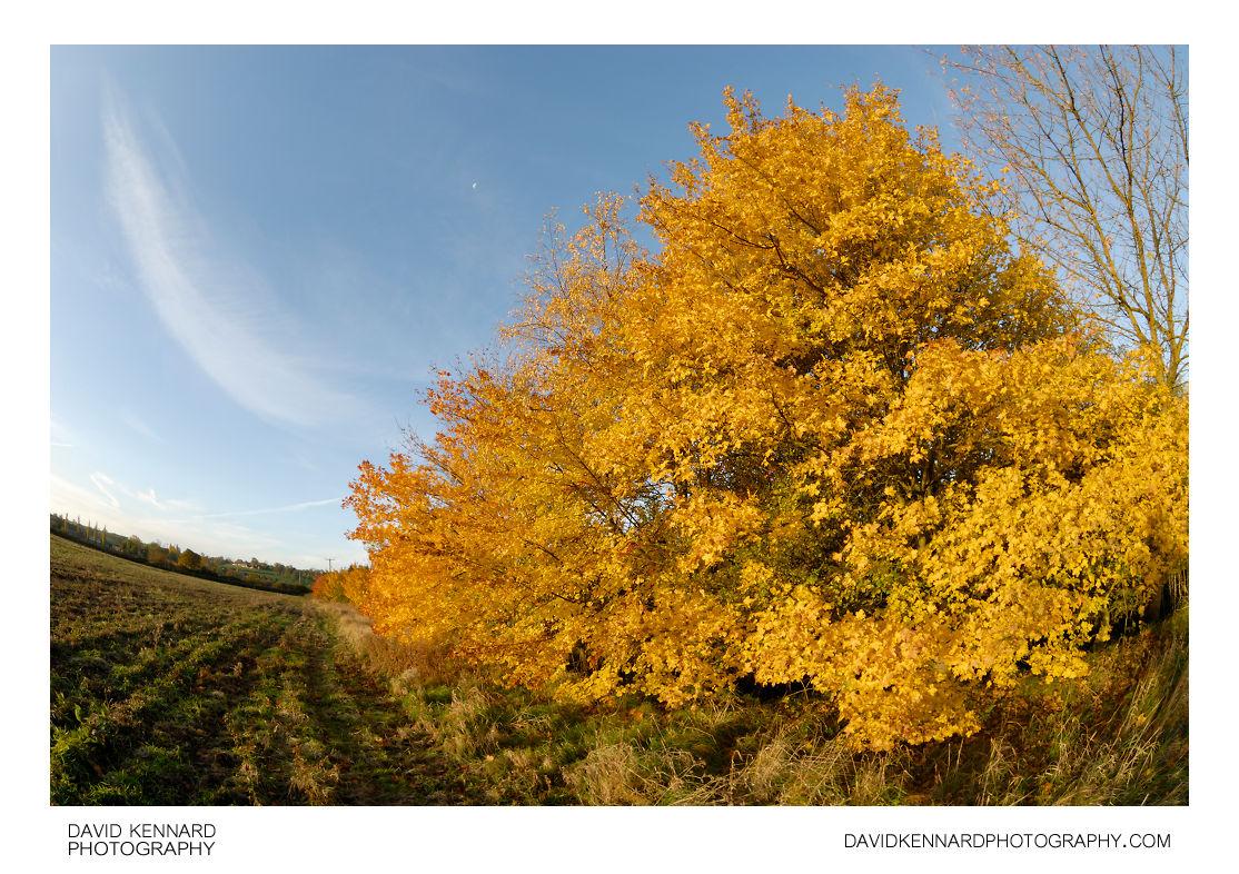 Bright yellow autumnal tree