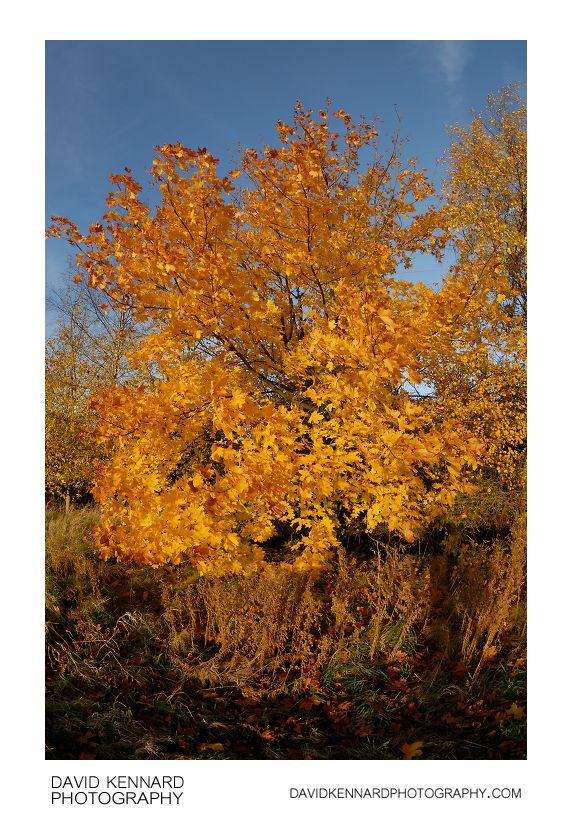 Autumnal yellow tree