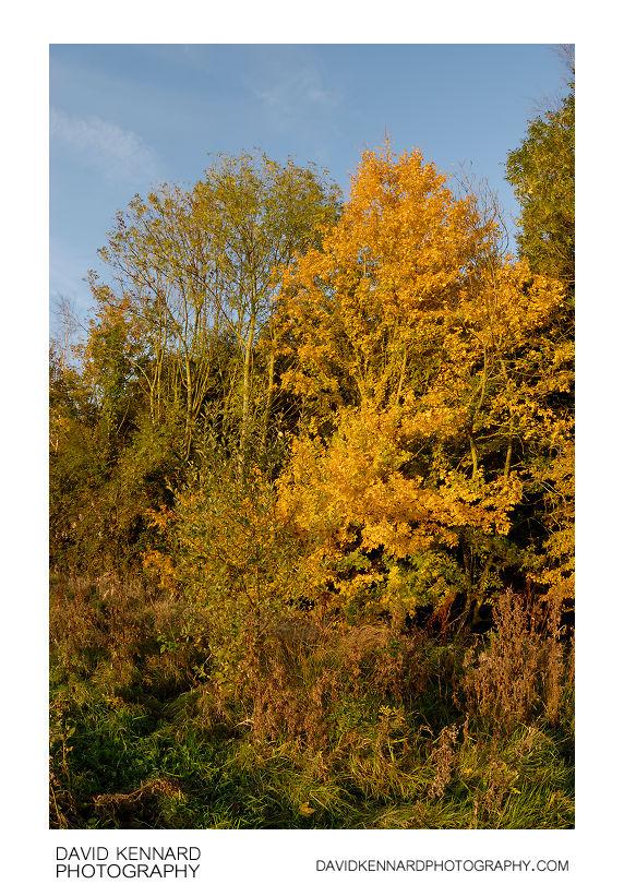 Yellow autumnal tree