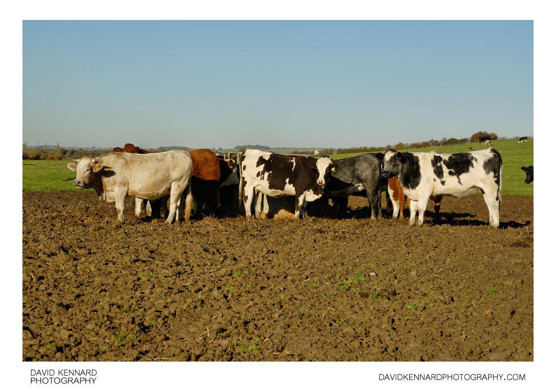 Cattle in mud
