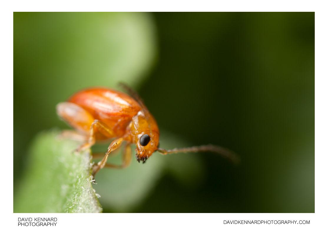 Tansy Ragwort Flea Beetle (Longitarsus jacobaeae)