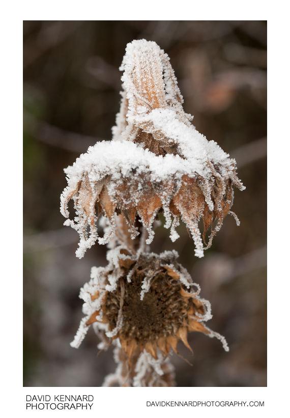 Snowy dead sunflowers