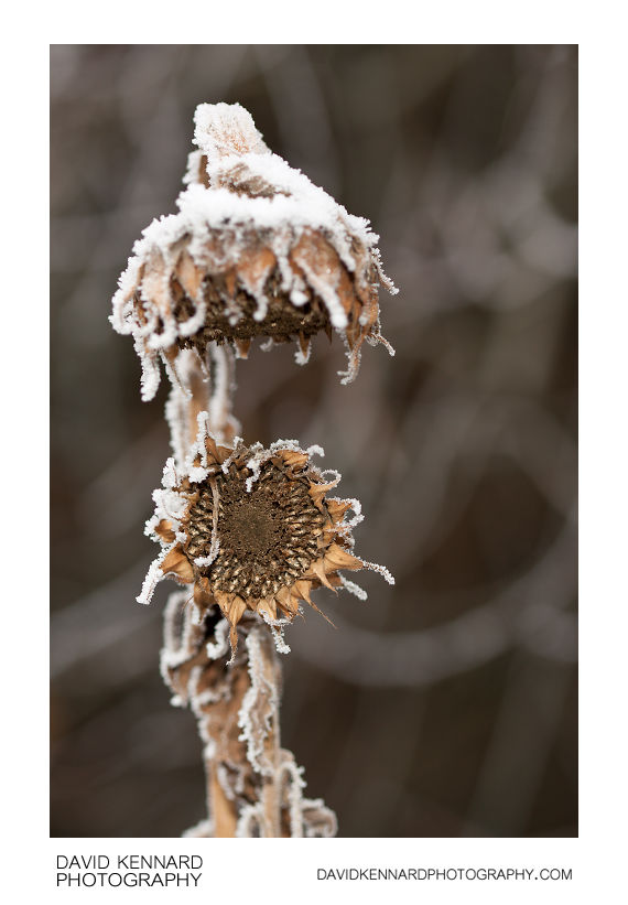 Snowy dead sunflowers