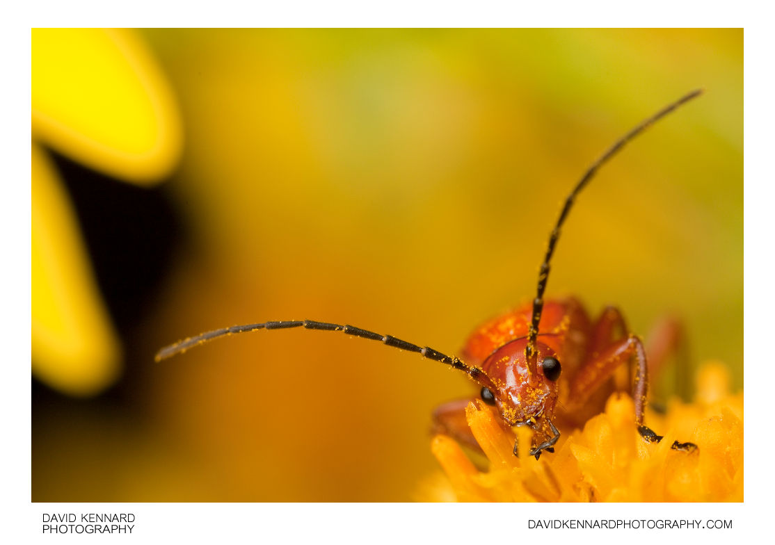 Rhagonycha fulva (Common red soldier beetle)