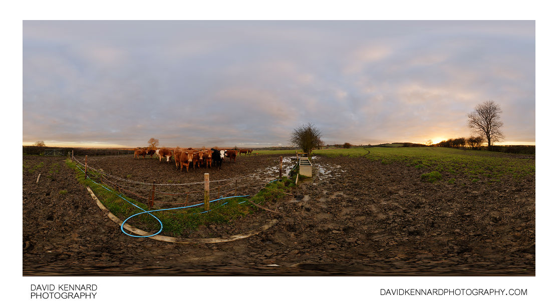 Muddy field and bulls at sunset