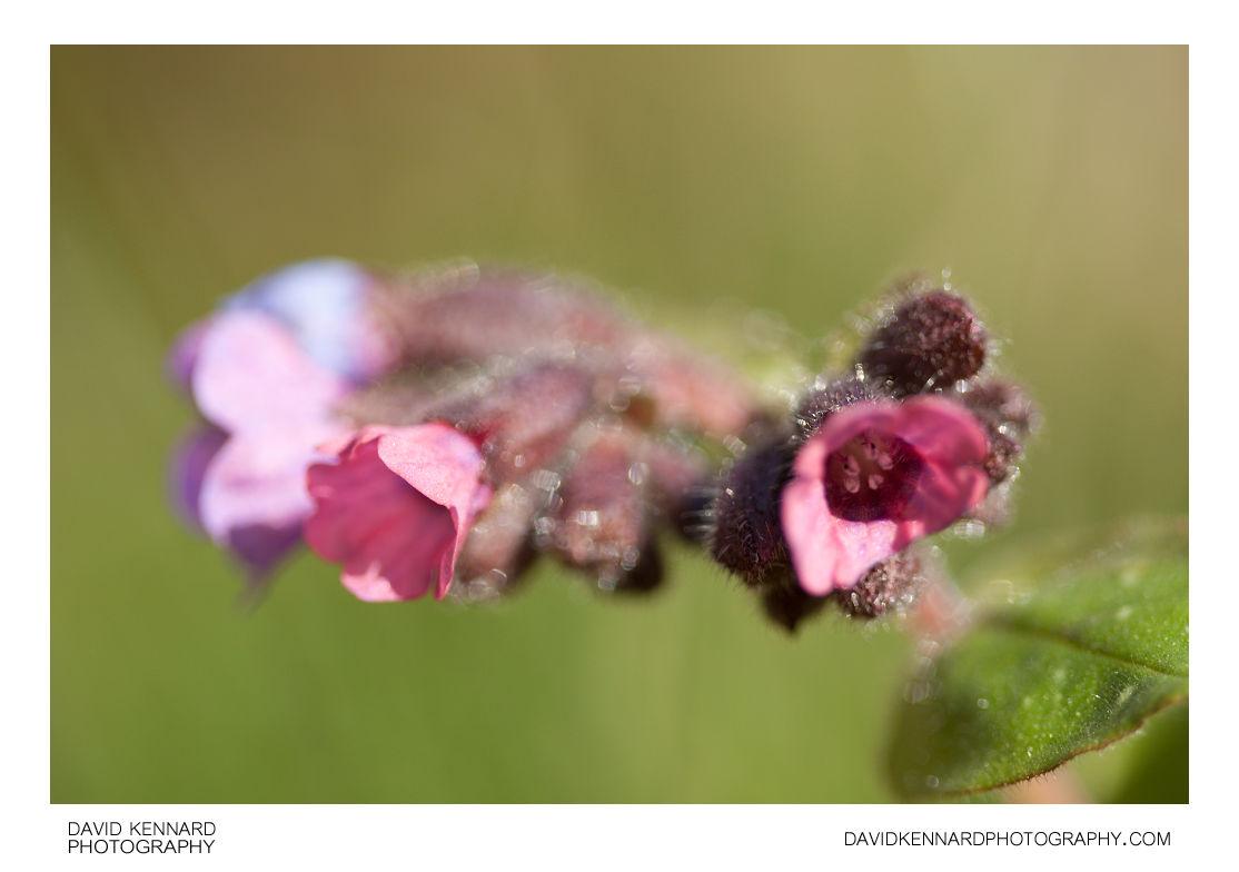 Pulmonaria opal flowers